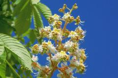 chestnut-3457345_960_720